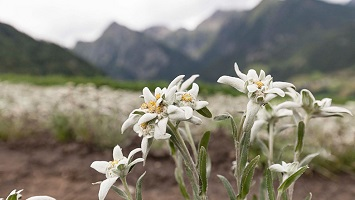 Edelweiss mit Blüten,Wallis, Schweiz. © Michael Peuckert